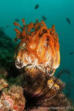 Feather Star | under the sea | | oceanlife | | amazing nature | #oceanlife #amazingnature https://biopop.com/