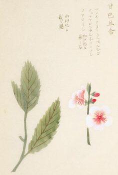 sweet almond, 本草図譜 岩崎 灌園, Honzo-Zufu, KanEn Iwasaki (1830)