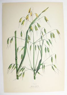 Wild Oats Grass Green Botanical Print 1923 Vintage Art Print Spring Gift Idea for the Home Cottage Garden Farm Nature Print Mothers Day Gift by OldMapsandPrints on Etsy