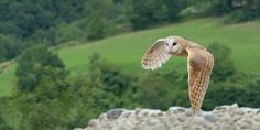Nocturnal birds of prey: the barn owl, legends and myths World's Most Beautiful, Beautiful Birds, Owl Information, Owl Background, Twitter Cover Photo, Tyto Alba, Owl Wings, Nocturnal Birds, Owl Books