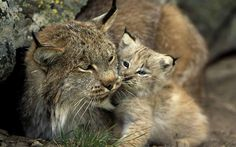 precious little Iberian lynx (Lynx pardinus) baby and mother for our members.