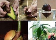 How To Grow An Avocado Tree!