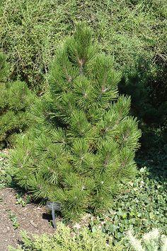 Trautman Juniper Juniperus Chinensis Trautman At