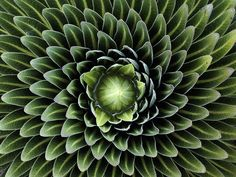 Spirals of the giant lobelia plant from Mount Kilimanjaro's Shira Plateau in Tanzania.