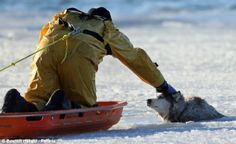 Fireman risks his live to save husky who fell through the ice in Boston. Fireman Coyle grabs Sylvie by the scuff of the neck as he attempts to lift her from the water. Amazing rescue!