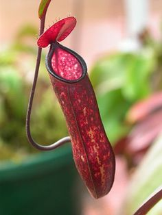 very rare pitcher plant.