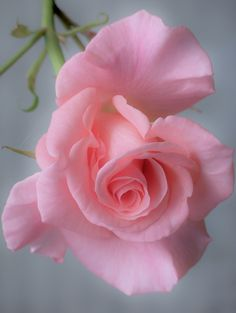 Most Beautiful Pink Flowers with Pictures Beautiful Rose Flowers, Beautiful Flowers Wallpapers, Love Rose, Exotic Flowers, Amazing Flowers, Vintage Flowers, Pretty Flowers, Pink Roses, Pink Flowers