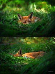 Nappish  #fox #red_fox #Vulpes_vulpes #myt
