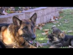 Fun Training Videos for You and Your German Shepherd