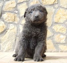 rare dog breeds pictures - Google Search