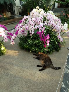 Longwood Gardens 2014 Orchid Exhibit. Roaming cats of Longwood. Photo by Sherry Allen.