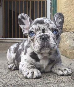 Merle French Bulldog Puppy with Blue Eye, just exquisite ❤️❤️ - Hunde - Puppies Merle French Bulldog, Cute French Bulldog, Blue French Bulldogs, Blue Bulldog, Teacup French Bulldogs, Baby Bulldogs, Funny French Bulldogs, Teacup Bulldog, Blue French Bulldog Puppies