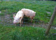 pigs @ tyn-yr-onnen farm campsite