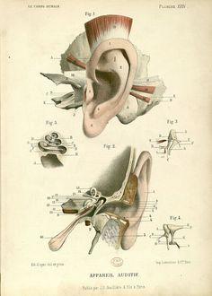 Antique scientific illustration of ear anatomy