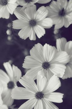 Friendly Flowers - Black and White Cosmos Floral Photograph Print