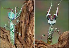 Devil's flower mantis collage.Photos: Cathy Keifer/Shutterstock