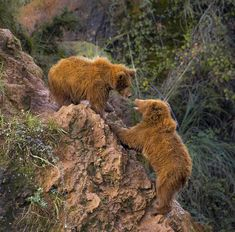 Oso - Parque de la Naturaleza de #Cabarceno #Cantabria #Spain Brown Bear, Bears, Parks, Naturaleza, Viajes, Animales, Bear