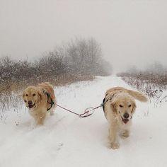 ♥Two golden snow beauties