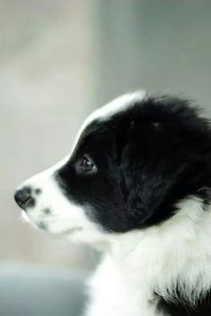 Border Collie pup.   I'd love if he had freckles on his nose just like his brother Barkley