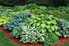Beautiful hosta garden. This is my parent's yard! I only have 40 different hostas in mine.