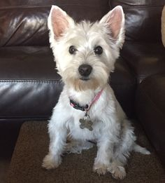 Zoey is an adoptable Dog - West Highland White Terrier Westie searching for a forever family near Huntington Beach, CA. Use Petfinder to find adoptable pets in your area.