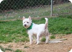Westie, West Highland White Terrier Dog for #adoption in #NorthWilkesboro, #NorthCarolina - meet Skippy - with Humane Society of Wilkes katiehsow@gmail.com or  maryhsow@gmail.com