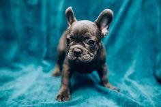 graue französische Bulldogge Welpe Cavalier King Charles Spaniel, French Bulldog Puppies, Labradoodle, Labrador, Iphone, Animals, Portuguese Water Dog, Companion Dog, Cute Puppies