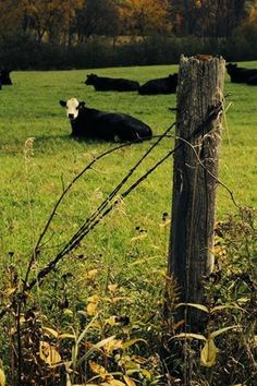 Cows by Missie Peterson.