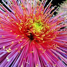 Spider Chrysanthemum