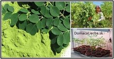 Táto neskutočná bylinka obsahuje takmer všetky živiny potrebné pre človeka. Vďaka jej konzumácii majú v Indii až o 84% nižší výskyt rakoviny pankreasu.