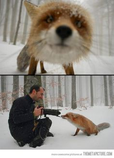 Did you know? Man tried to domesticate the fox before the dog. Foxes were just too skittish to successfully become man's bff. This little guy seems to be braver than most :)