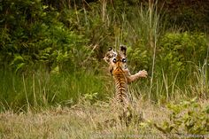 Tiger cubs playing via Flickr.