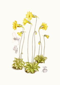 Pinguicula lutea botanical illustration Art Print