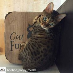 @Regrann from @booboo_poppy_meeka -  Good morning my furriends  --- #poppythenaughtybengal #catfurnature #kitten #bengal #bengalkitten #silverbengal #bengalcat #ig_bengals #bengalsofinstagram #bengalcatworld #cat #cats #instacat #catstagram #petsofinstagram #cute #ig_cats #catsofinstagram #bengal_feature #bestmeow #chat #gato #adorable #cutestkitten - #regrann