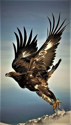 Golden Eagle takes Flight.