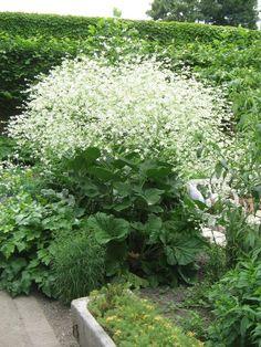 Катран сердцелистный White Plants, Summer Garden, Night Garden, Moon Garden, Plantation, Garden Beds, Garden Plants, Shade Garden, White Flowers