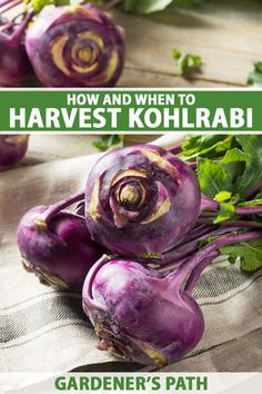 Kohlrabi is a unique plant with stems that swell into juicy, round bulbs that taste a bit like a cross between broccoli and cabbage. Delicious both raw and cooked, this easy-to-grow vegetable makes an exciting addition to the garden. Learn when and how to harvest kohlrabi now on Gardener's Path. #kohlrabi #gardenerspath Starting A Vegetable Garden, Vegetable Garden For Beginners, Gardening For Beginners, Vegetable Gardening, Organic Gardening Tips, Gardening Hacks, Easy Vegetables To Grow, Bountiful Harvest, Unique Plants