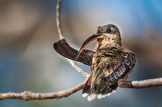 balança-rabo-de-bico-torto (Glaucis hirsutus) por Sérgio Cedraz | Wiki Aves - A Enciclopédia das Aves do Brasil