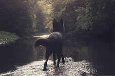 black dog in a river