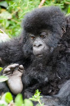 Rwanda - known for its gorillas and chimps.