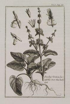 1717 Στάχυς ο Κρητικός (Stachys Cretica latifolia). - TOURNEFORT, Joseph Pitton de - ME TO BΛΕΜΜΑ ΤΩΝ ΠΕΡΙΗΓΗΤΩΝ - Τόποι - Μνημεία - Άνθρωποι - Νοτιοανατολική Ευρώπη - Ανατολική Μεσόγειος - Ελλάδα - Μικρά Ασία - Νότιος Ιταλία, 15ος - 20ός αιώνας