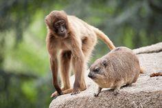 Gelada baboon & rock hyrax