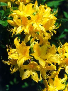 Rhododendron luteum  Type: deciduous. Mature size: 12 feet tall and wide. Ideal growing conditions: part shade, moist soil  Advertisement