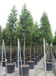 Pinus sylvestris grove den 50 55 cm landscape trees for 741 evergreen terrace