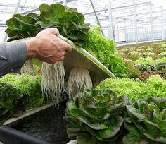 ¿HIDRO..QUÉ? Agricultura hidropónica. Te lo contamos.