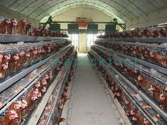Layer cage is rearing egg laying chicken, after pullet growing up to 12 weeks or 16 weeks transport them to layer cage. Its biggest advantage is increasing egg production to very easy to handle chicken waste and reduce disease transmission. Chicken Bird, Chicken Cages, 16 Weeks, Building A Chicken Coop, Coops, Growing Up, Layers, Eggs, Handle