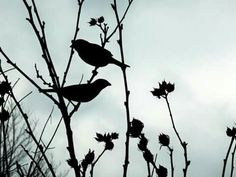 Little Finches.
