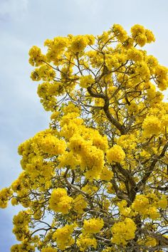 Tabebuia tree flowering in South Florida