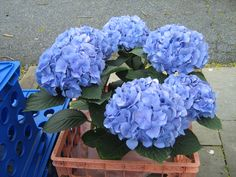 Blue hydrangea Blue Hydrangea, My Favorite Things, Flowers, Plants, Flora, Royal Icing Flowers, Floral, Plant, Florals