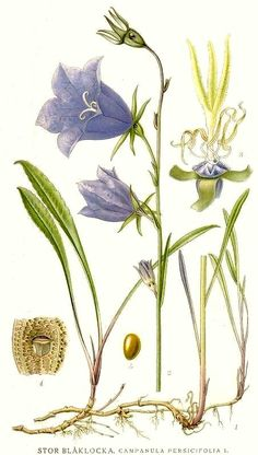 Campanula persicifolia- Dižā pulkstenīte